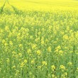 Yellow oilseed rape scenery — Stock Photo