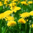 Yellow dandelions. — Stock Photo