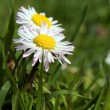 Close-up of daisy flower growing in grass — Stock Photo #18187049