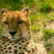 Cheetah (Acinonyx jubatus) looking - Stock Photo