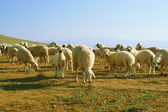 Graze a flock of mountain sheep — Stock Photo