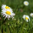 Close-up of daisy flower growing in grass — Stock Photo #18436911