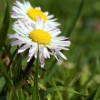 Close-up of daisy flower growing in grass — Stock Photo #18628089