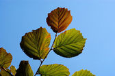 Leaf of hazel — Stock Photo