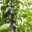 Ripe violet plum on branch - Stock Photo