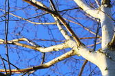 Silver birch tree against blue sky — Stock Photo