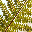 Detail of green ferns as background — Stock Photo #19309525