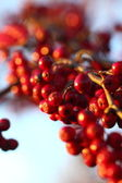 Rowan berries in the fall in natural setting — Stock Photo