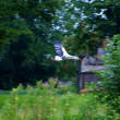 Flying stork - Stock Photo