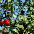 Cherries on a tree - Stock Photo