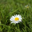 Close-up of daisy flower growing in grass - Stock Photo