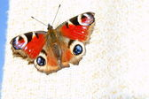Peacock butterfly standing on curtain — Stock Photo