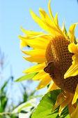 Słonecznik z liści - jasny lato niebieski niebo. — Zdjęcie stockowe