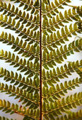 Detail of green ferns as a background — Stock Photo