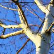 Silver birch tree against blue sky — Stock Photo #22196023