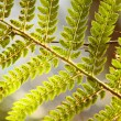 Detail of green ferns as background — Stock Photo #22243405