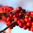 Royalty-Free Stock Photo: Rowan berries in the fall in natural setting