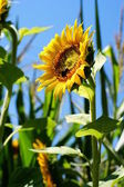 Sunflower with a leaf - clear summer blue sky. — Stock fotografie
