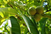 Green walnuts — Stock fotografie