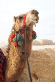Portrait of camel — Stock Photo