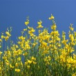 Yellow oilseed rape and the blue sky - Stock Photo