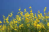 Yellow oilseed rape and the blue sky — Stock Photo