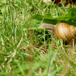 Stock Photo: Snail in grass