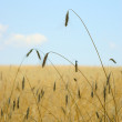 Wheat field - blue sky — Stock Photo