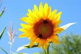 Sonnenblume mit einem blatt - klaren blauen sommerhimmel. — Stockfoto