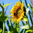 Sunflower with a leaf - clear summer blue sky. — Stock Photo