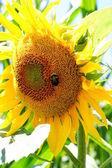 Slunečnice s list — Stock fotografie