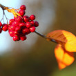 Rowan berries in the fall in natural setting - Stock Photo