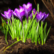 First spring flowers purple crocuses - Stock Photo