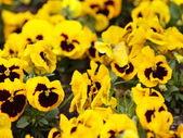 желтый анютины глазки в саду как фон — Стоковое фото