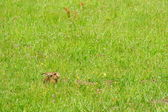 Hare in a meadow — Stock Photo