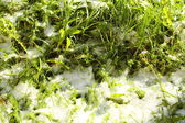 Texture of green grass with snow. Spring. — Stock Photo