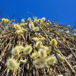Pussy willow branches with catkins blue sky - Stock Photo