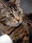 Beautiful home tabby cat — Stock Photo