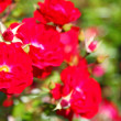 Bush of red roses outdoor — Stock Photo