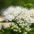 White flowers in garden outdoor — Stock Photo