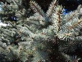 Pine tree branches — Stock Photo