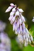 Fleurs violet dans le jardin en plein air — Photo