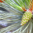 Pine branch with cone — Stockfoto