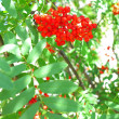 Autumn rowberries ashberry. Sorbus aucuparia — Stock Photo #30006191