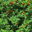 Autumn rowan berries ashberry. Sorbus aucuparia — Stock Photo