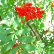 Autumn rowberries ashberry. Sorbus aucuparia — Stock Photo #30282099