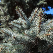 Pine tree branches — Stock Photo