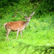 Young deer stag in green forest — Stock Photo