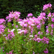 Pink flowers in the garden shined at sun — Stock Photo