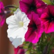 Pink petunia flower plants in the garden. — Stock Photo #30987973